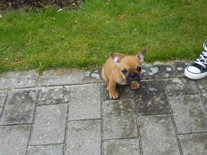 French_bulldog_Charlie