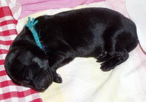 800px-Newborn_puppy